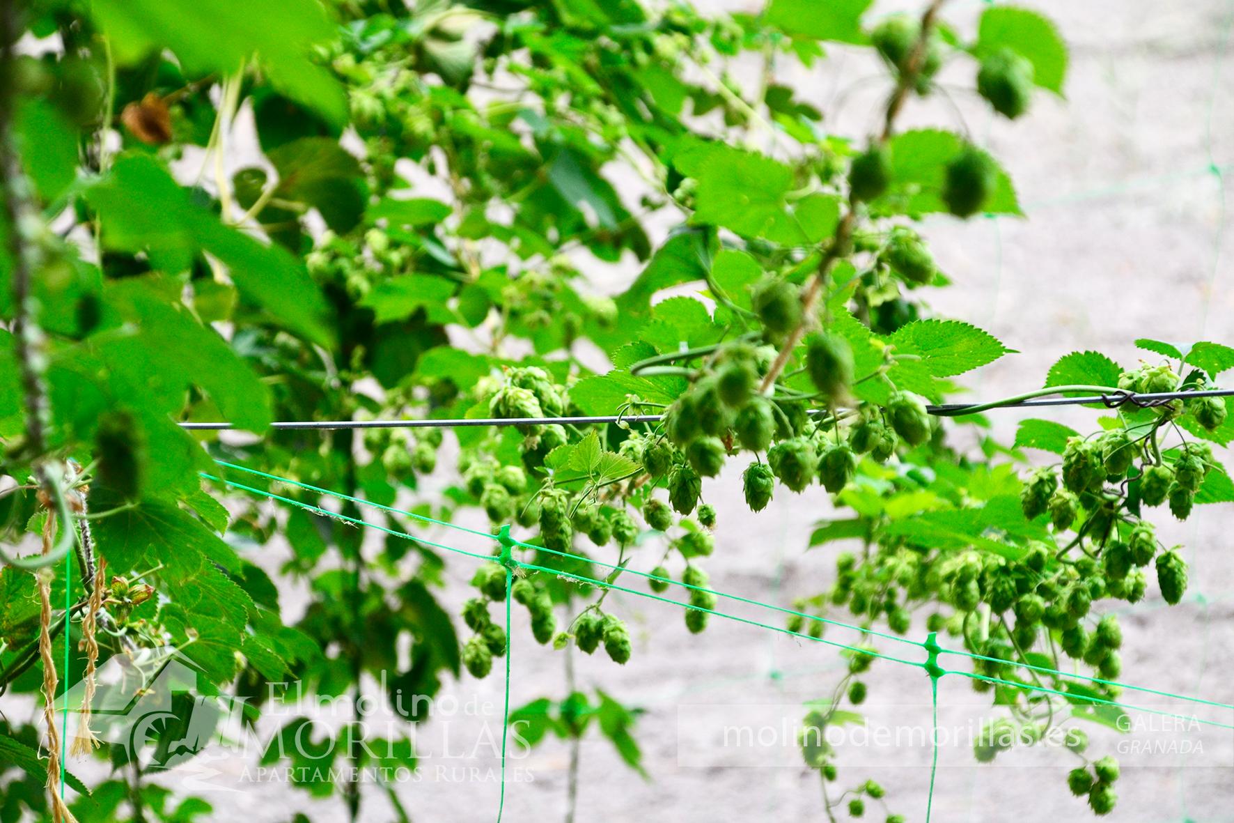 Cultivo de lúpulo ecológico