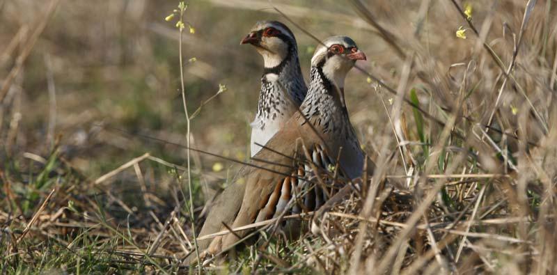 turismo activo ecoturismo altiplano granada observación aves perdiz