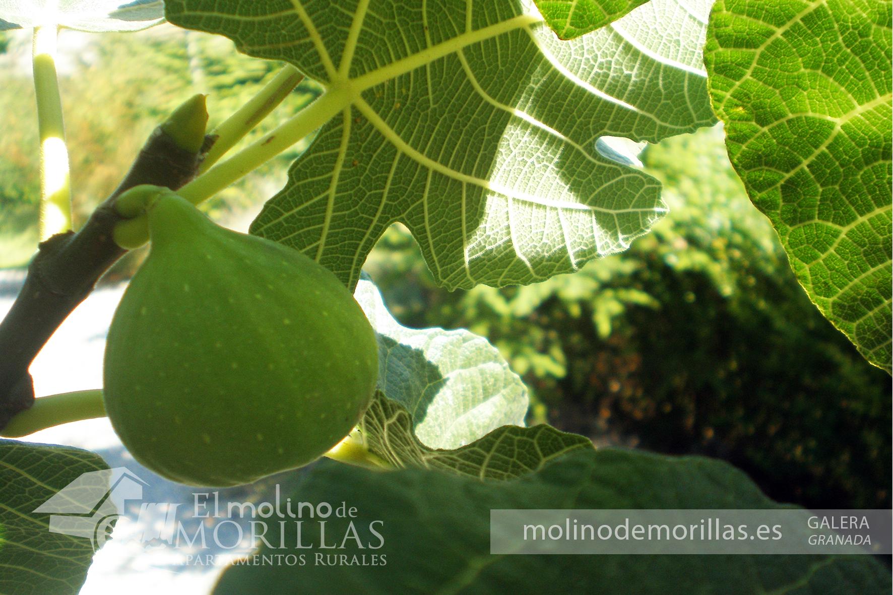 Higueras y sus dulces frutos en septiembre