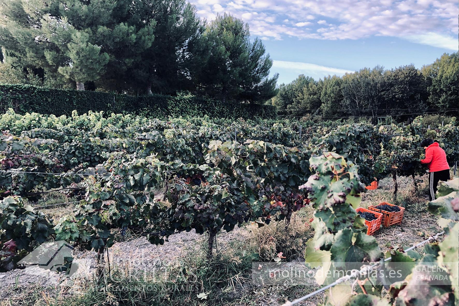 Viñedo ecológico de uva garnacha