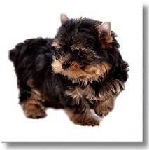 Мини и супер мини щенки Йоркширского терьера продажа цена