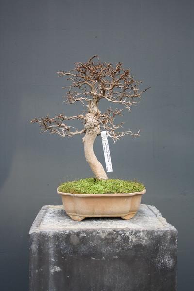 carpinus turczaninowii koi gr npflanzen bonsai kgb in. Black Bedroom Furniture Sets. Home Design Ideas