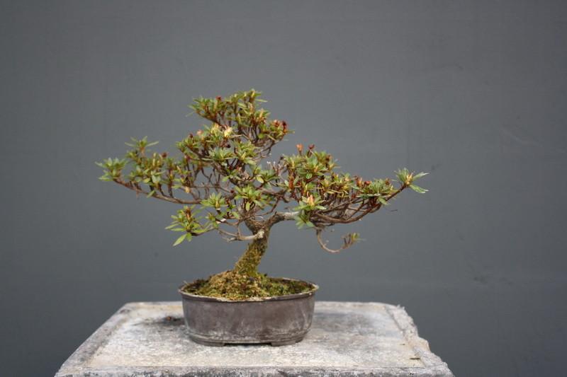 rhododendron lateritum koi gr npflanzen bonsai kgb in. Black Bedroom Furniture Sets. Home Design Ideas