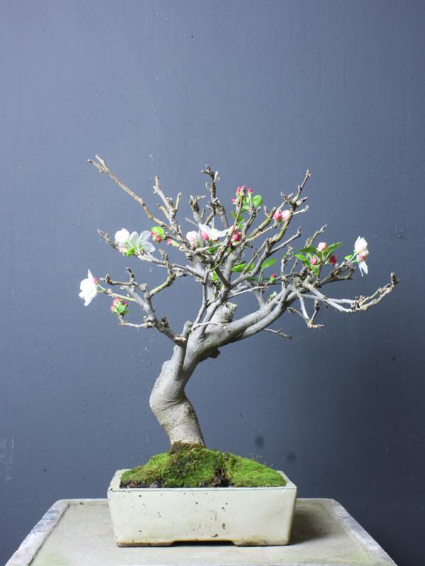 malus koi gr npflanzen bonsai kgb in ludwigsfelde bei. Black Bedroom Furniture Sets. Home Design Ideas
