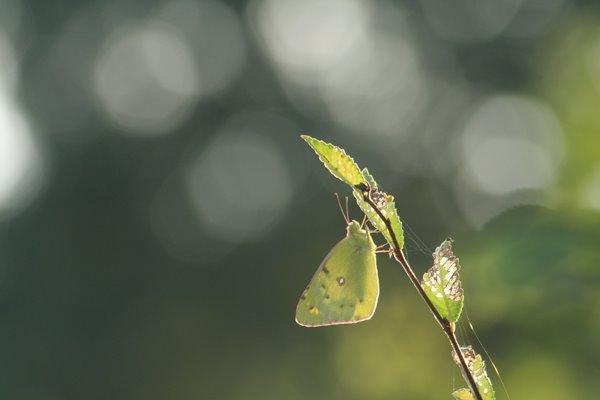 モンキチョウ その2。 Butterfly