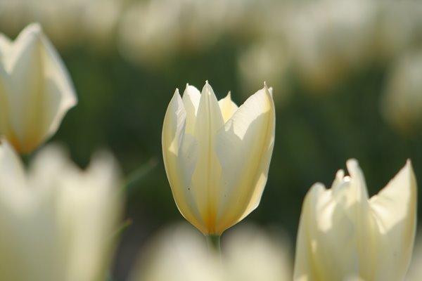 プリシマ。 Tulip