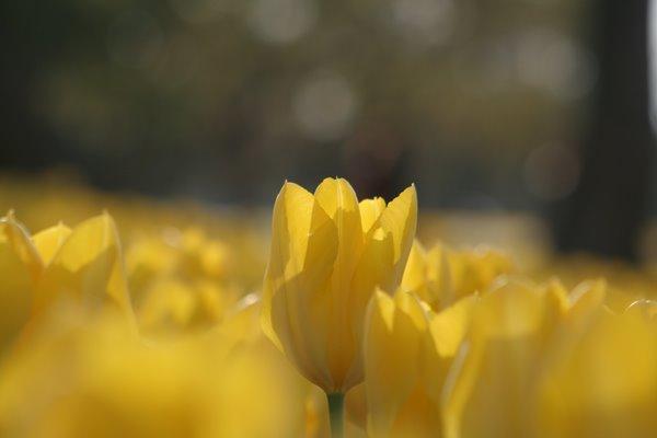 イエロープリシマ。 Tulip