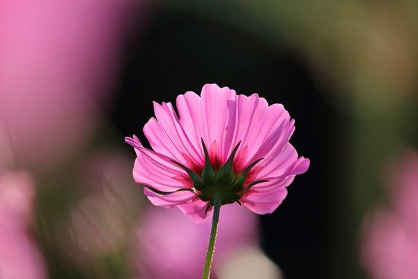 コスモス (センセーション) その57。 Cosmos flower