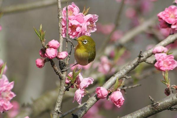桃の花 (矢口) と メジロ その1