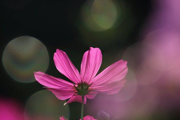 コスモス (センセーション) その29。 Cosmos flower