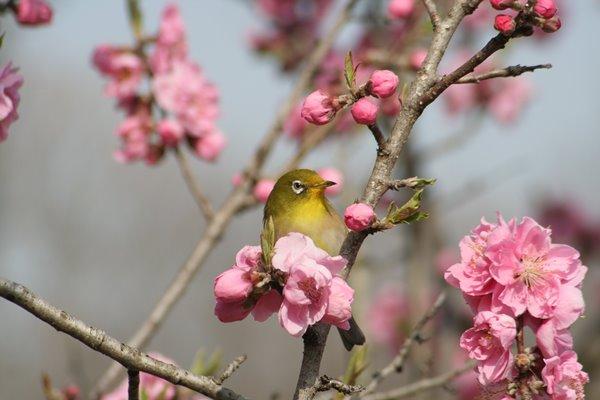 桃の花 (矢口) と メジロ その2