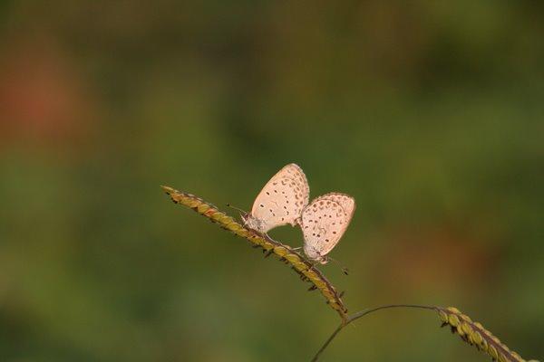 シジミチョウ その2。 Butterfly