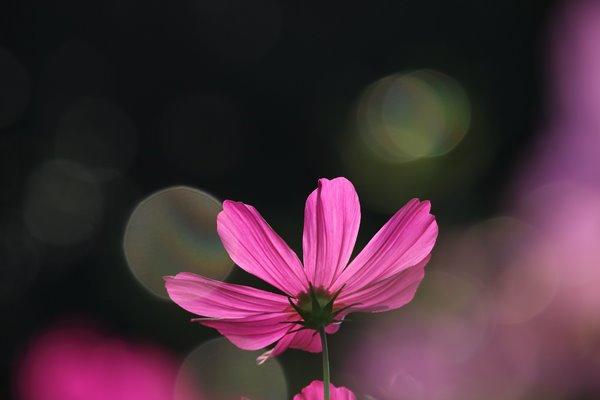 コスモス (センセーション) その30。 Cosmos flower