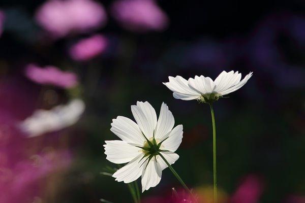 コスモス (センセーション) その21。 Cosmos flower