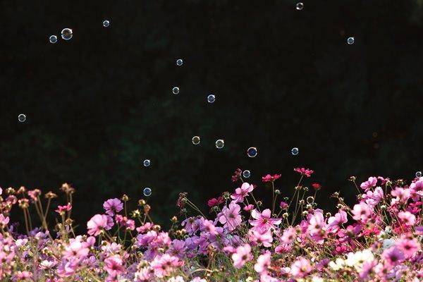 コスモスとシャボン玉 その2。 Cosmos and soap bubbles