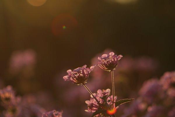 写真素材: 妖精の時間‥と‥空間。 コバノランタナ その2。 Trailing lantana