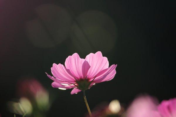 コスモス (センセーション) その54。 Cosmos flower