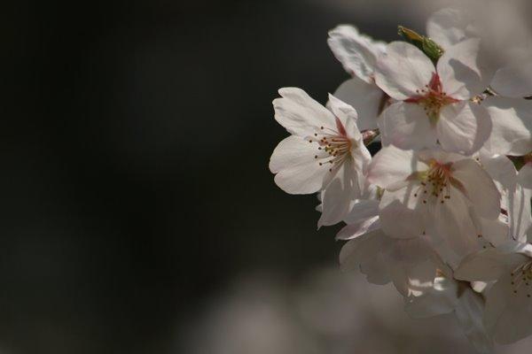 さくら : ソメイヨシノ。 Cherry blossoms