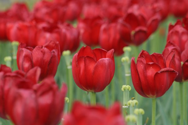 アルカディア。 Tulip
