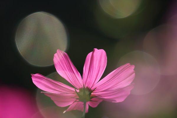 コスモス (センセーション) その28。 Cosmos flower