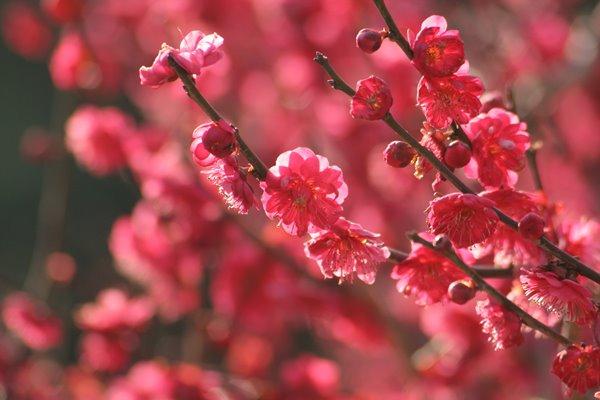 写真素材: 黒龍梅 (梅)。 Japanese apricot