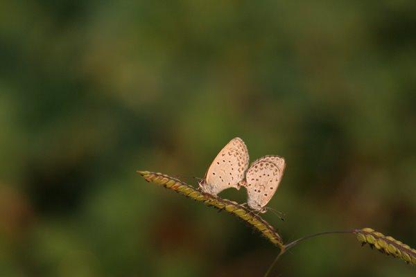 シジミチョウ その1。 Butterfly