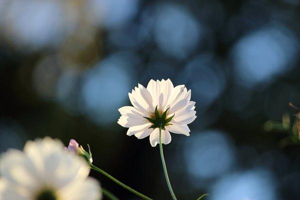 コスモス (センセーション) その62。 Cosmos flower