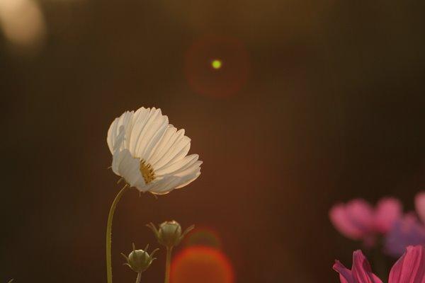 写真素材: 妖精の時間‥と‥空間。 コスモス (センセーション) その4. cosmos flower
