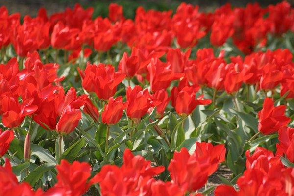 レッドエンペラー。 Tulip