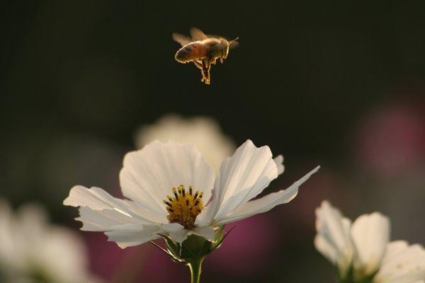 みつばち と コスモス (センセーション) その1. cosmos flower