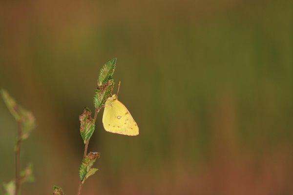 モンキチョウ その1。 Butterfly