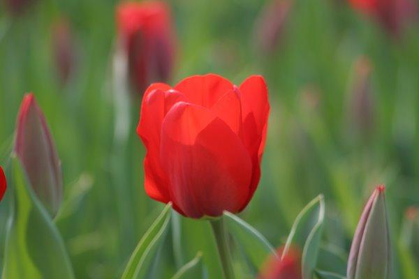 レフェーバースメモリー。 Tulip