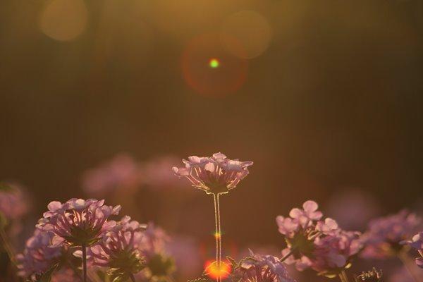 写真素材: 妖精の時間‥と‥空間。 コバノランタナ その1。 Trailing lantana