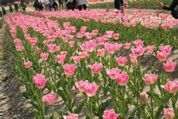 ファンシーフリル。 Tulip