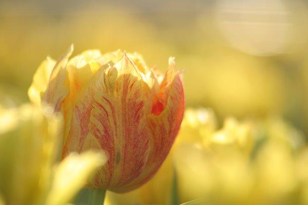 モンテカルロ。 Tulip