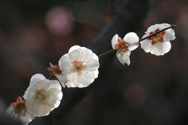 写真素材: 思いのまま (梅)。 Japanese apricot