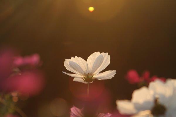 写真素材: 妖精の時間‥と‥空間。 コスモス (センセーション) その6. cosmos flower