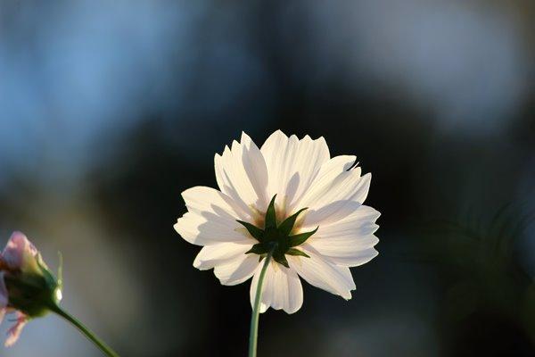 コスモス (センセーション) その63。 Cosmos flower