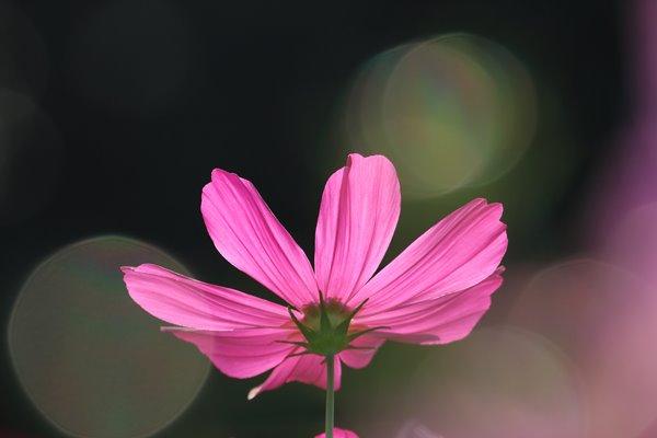 コスモス (センセーション) その27。 Cosmos flower