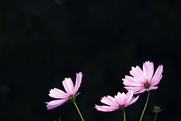 コスモス (センセーション) その23。 Cosmos flower