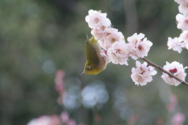 梅にメジロ (豊後)。 Japanese apricot