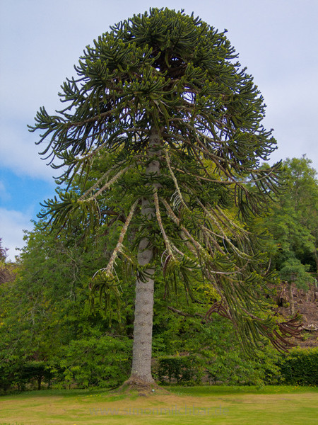 Monkey Puzzle Tree, Scotland.