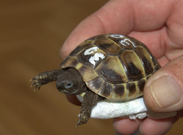 Griechische Landschildkröte (Jungtier)
