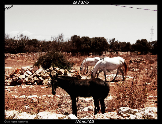 Cavalli Minorca