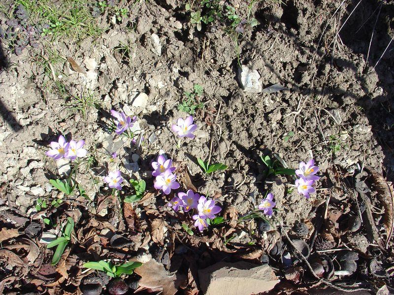 Die ersten Frühlingsboten am Weinberg.