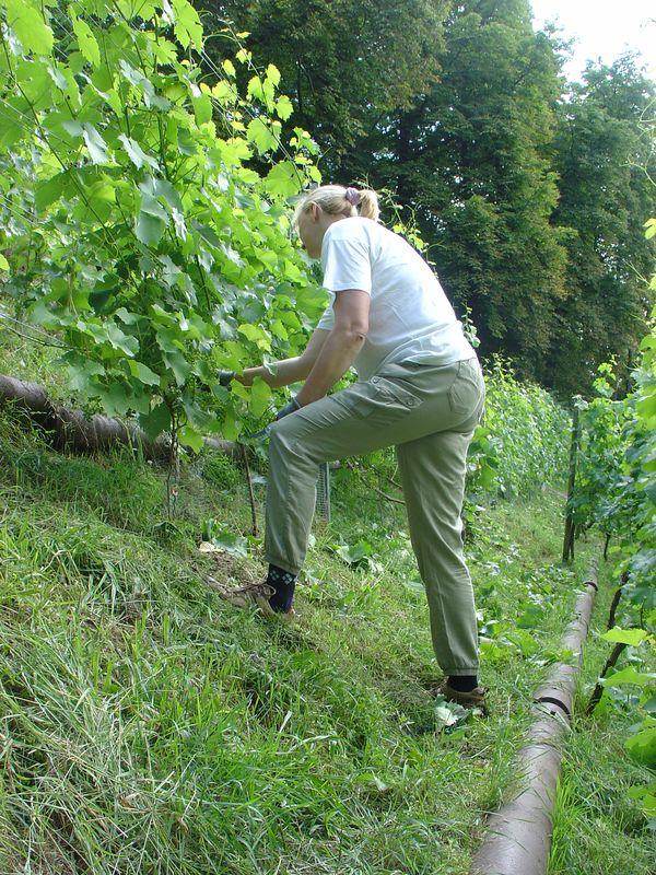 Wir entblättern leicht den Rebansatz, um für gute Durchlüftung der Weinstöcke zu sorgen !