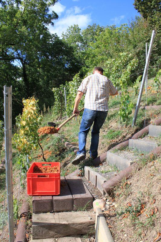 Die Reste der Äpfel werden als Dünger auf den Weinberg ausgebracht und gut verstreut.