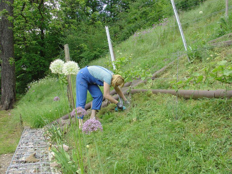 Unsere neu angepflanzten Reben  werden vorsichtig freigemäht.