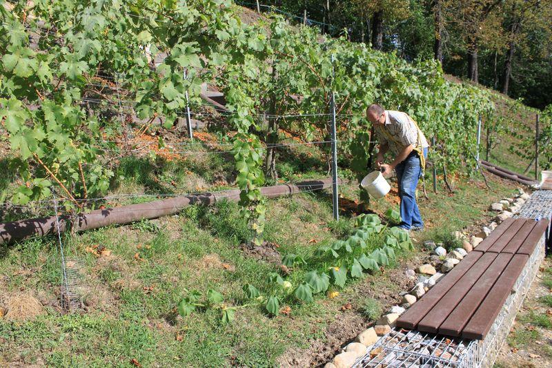Die Reste der Äpfel werden als Dünger auf den Weinberg ausgebracht.