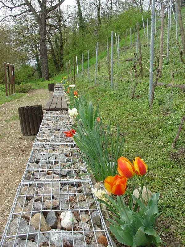 Frühling am Weinberg. Unsere Zwiebel-Herbst-Aktion trägt Blüten .